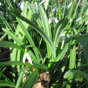 Photographie n°1107894 du taxon Galanthus plicatus M.Bieb. [1819]