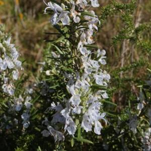 Photographie n°1108415 du taxon Rosmarinus officinalis subsp. officinalis