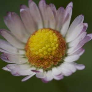 Photographie n°1108742 du taxon Bellis perennis