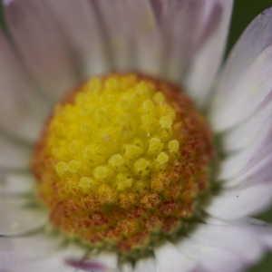 Photographie n°1108744 du taxon Bellis perennis