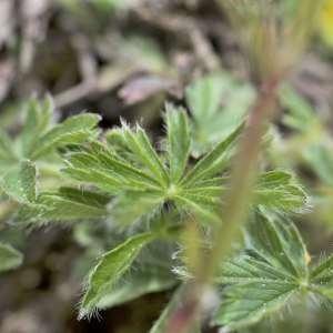 Photographie n°1109227 du taxon Potentilla alchemilloides Lapeyr. [1782]