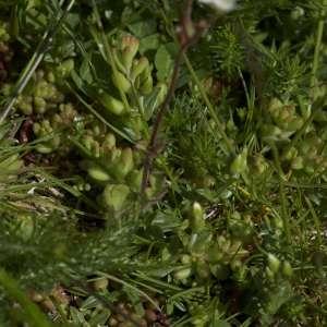 Photographie n°1109357 du taxon Saxifraga granulata L.