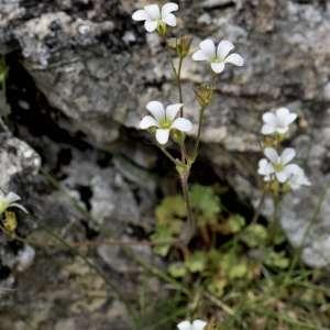 Photographie n°1109361 du taxon Saxifraga granulata L.