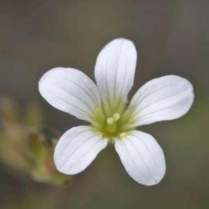 Photographie n°1109364 du taxon Saxifraga granulata L.