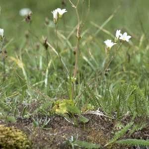 Photographie n°1109365 du taxon Saxifraga granulata L.