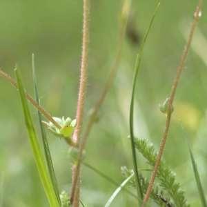 Photographie n°1109366 du taxon Saxifraga granulata L.