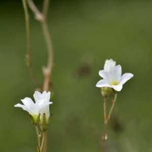 Photographie n°1109367 du taxon Saxifraga granulata L.