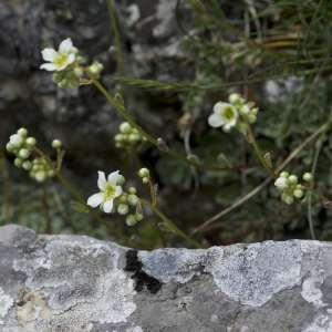 Photographie n°1109822 du taxon Saxifraga paniculata Mill.