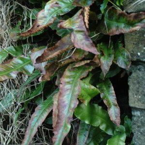 Photographie n°1110387 du taxon Asplenium scolopendrium L. [1753]