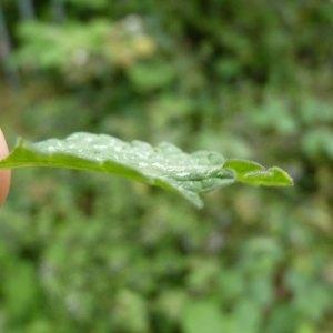 Photographie n°1111164 du taxon Ballota nigra subsp. foetida (Vis.) Hayek [1929]