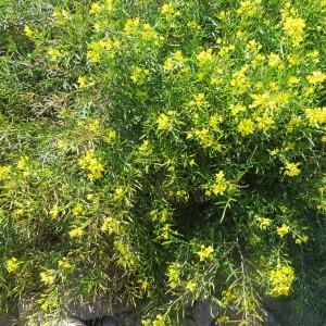 Photographie n°1111923 du taxon Rorippa sylvestris (L.) Besser