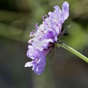 Photographie n°1114764 du taxon Scabiosa cinerea Lapeyr. ex Lam. [1792]