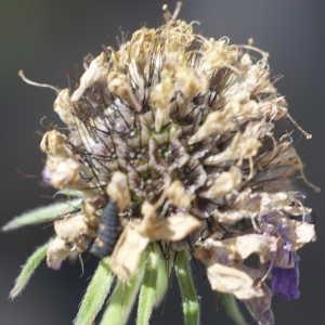Photographie n°1114768 du taxon Scabiosa cinerea Lapeyr. ex Lam. [1792]
