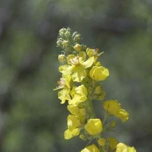 Photographie n°1114909 du taxon Verbascum thapsus