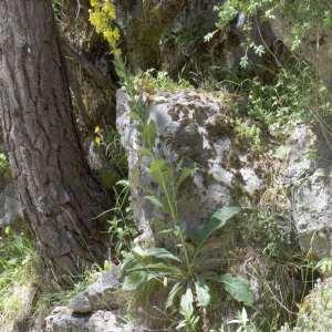 Photographie n°1114910 du taxon Verbascum thapsus