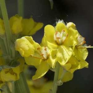 Photographie n°1114911 du taxon Verbascum thapsus