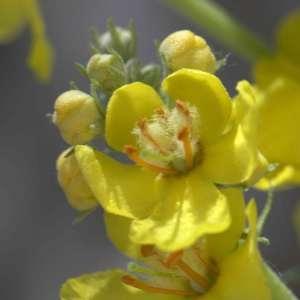 Photographie n°1114913 du taxon Verbascum thapsus