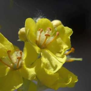 Photographie n°1114915 du taxon Verbascum thapsus