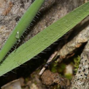 Photographie n°1117095 du taxon Brachypodium distachyon var. ciliatum (Gouan) Beck [1904]