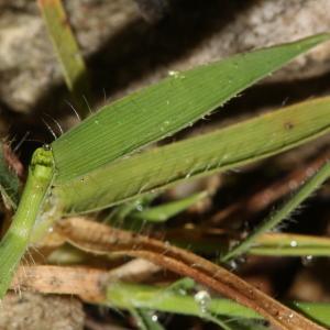 Photographie n°1117096 du taxon Brachypodium distachyon var. ciliatum (Gouan) Beck [1904]