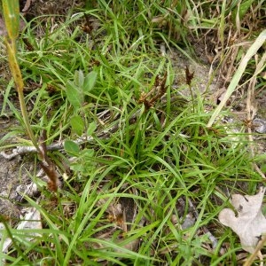 Photographie n°1117394 du taxon Carex caryophyllea Latourr. [1785]