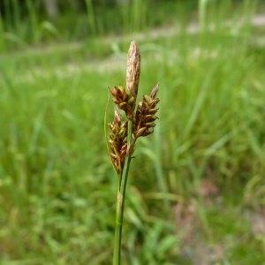 Photographie n°1117399 du taxon Carex caryophyllea Latourr. [1785]