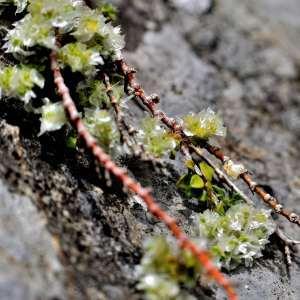 Photographie n°1117948 du taxon Paronychia Mill.
