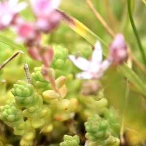 Photographie n°1118040 du taxon Sedum dasyphylium