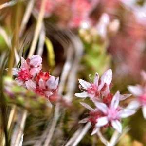 Photographie n°1118042 du taxon Sedum dasyphylium