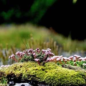Photographie n°1118045 du taxon Sedum dasyphylium