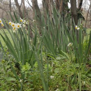 Photographie n°1118217 du taxon Narcissus tazetta L.