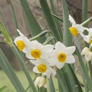 Photographie n°1118219 du taxon Narcissus tazetta L.