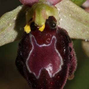 Ophrys exaltata Ten. (Ophrys)