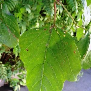 Photographie n°1118590 du taxon Viburnum opulus L. [1753]