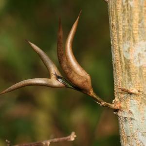 Photographie n°1118621 du taxon Acacia cornigera (L.) Willd.