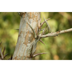 Acacia cornigera (L.) Willd. (Akasya baryè)
