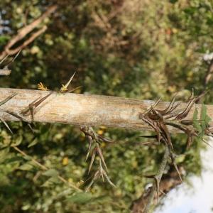 - Acacia cornigera (L.) Willd.