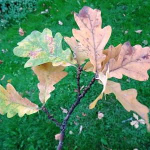 Photographie n°1118719 du taxon Quercus robur L. [1753]