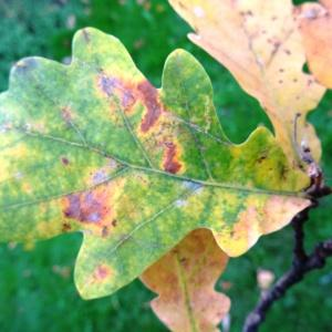 Photographie n°1118720 du taxon Quercus robur L. [1753]
