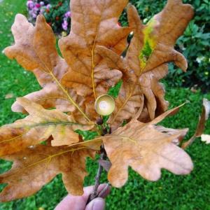 Photographie n°1118729 du taxon Quercus robur L. [1753]