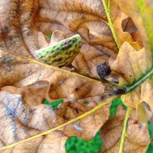 Photographie n°1118730 du taxon Quercus robur L. [1753]