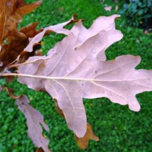 Photographie n°1118734 du taxon Quercus robur L. [1753]