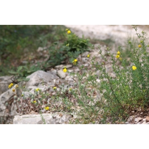 Medicago sativa subsp. glomerata (Balb.) Rouy (Luzerne agglomérée)