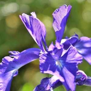 Photographie n°1120752 du taxon Iris L. [1753]