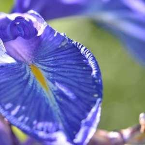 Photographie n°1120757 du taxon Iris L. [1753]
