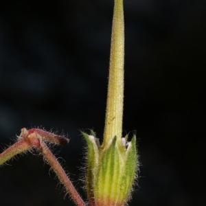 - Erodium foetidum (L.) L'Hér. [1802]