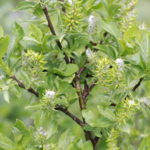 - Salix hastata subsp. hastata