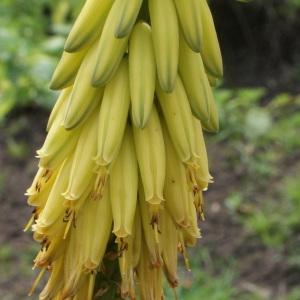 Photographie n°1121962 du taxon Aloe vera (L.) Burm.f.