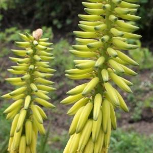 - Aloe vera (L.) Burm.f.