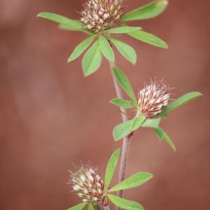 Photographie n°1122518 du taxon Trifolium bocconei Savi